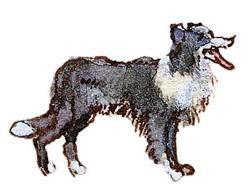 Drawing of a collie
